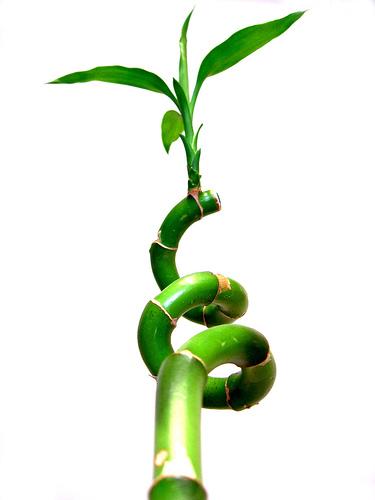 bambu - bambu