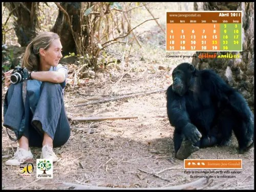 Calendario IJGE abr2011 1024b - Calendario-fondo de escritorio de Jane Goodall: abril 2011