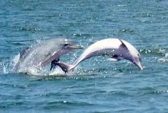 tucuxi delfin