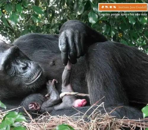 mono parto - Calendario-fondo de escritorio Jane Goodall: agosto 2011