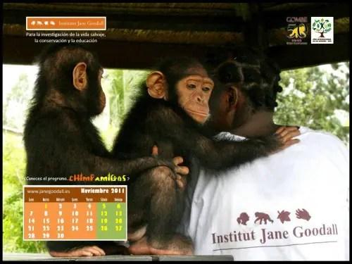 Calendario IJGE nov2011 1024 - Calendario-fondo de escritorio Jane Goodall: noviembre 2011