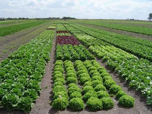 campo lechugas - Y cuando no se puede comer ecológico... - Los viernes de Ecología Cotidiana