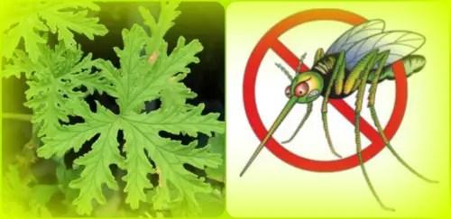 mosquitos aromaterapia