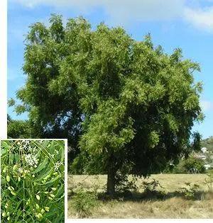 aceite neem insecticida ecologico mas L o1Er14 - aceite-neem