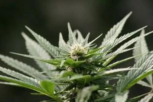 cannabis - Cannabis medicinal y Esclerosis