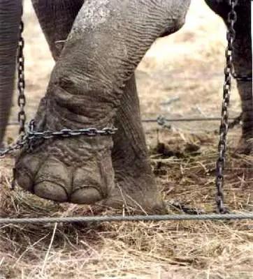 elefante encadenado pata - elefante-encadenado