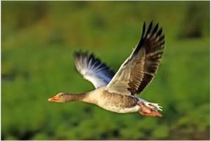gansos - El vuelo de los gansos y sus enseñanzas
