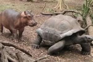 hipo tortuga1 - La historia real del hipopótamo y la tortuga: las diferencias no son obstáculo para la ayuda mutua y el Amor