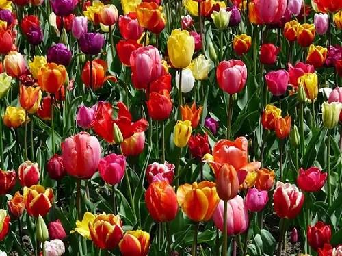 La belleza de los tulipanes - B de Belleza. El Abecedario de la Felicidad