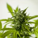 marihuana usos terapéuticos