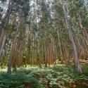 Bosque eucalipto