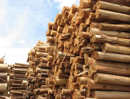 troncos eucalipto