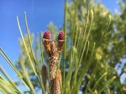 pino - Flores para subir nuestras defensas