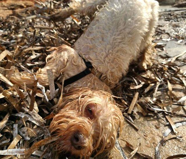 por qué los perros se revuelcan