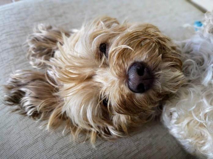 caspa en perros