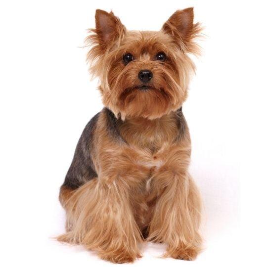 razas de perros mini