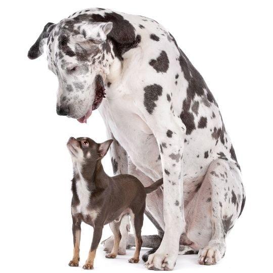 adoptar a un perro de raza grande