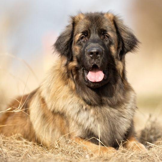 perros más grandes