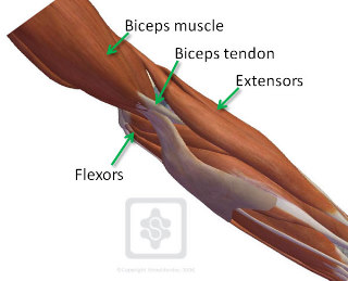 Elbow anatomy and approaches - ElbowDoc