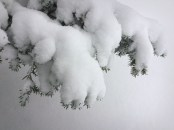 Pillows of snow on the pine