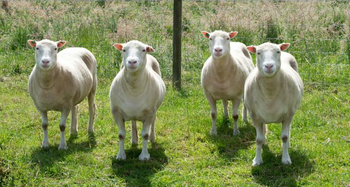 Investigadores estudian la evolución de cuatro ovejas que son clones de Dolly