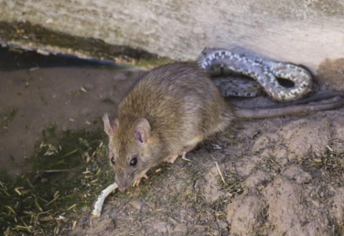 rata pelea con sepiente y da final