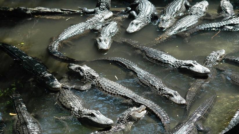 ¡Aterrador! Matrimonio descubre a diez caimanes comiéndose el cadáver de un menor