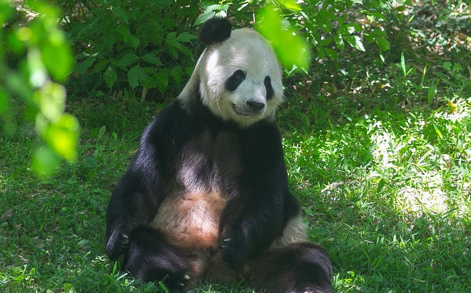 (Video) La panda gigante más longeva de Estados Unidos dio a luz a un cachorro