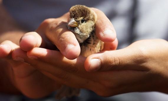 The Spanish Sparrow