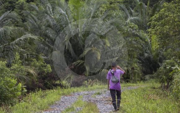 Hasta hace cinco años, varias empresas de explotación de palma aceitera se ubicaron en Bajirá pero, según el líder Henry Chaverra, salieron de allí por fallos judiciales de restitución de tierras y hoy quedan pocos cultivos como este. FOTO esteban vanegas