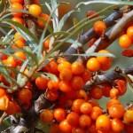 Propiedades del aceite de espino amarillo