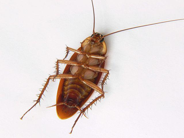 طرق القضاء على الصراصير