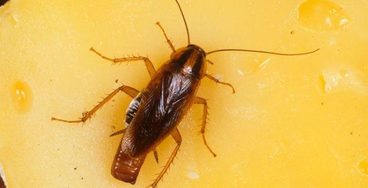 أكثر طرق القضاء على الصراصير