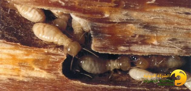 مكافحة النمل الابيض بجدة