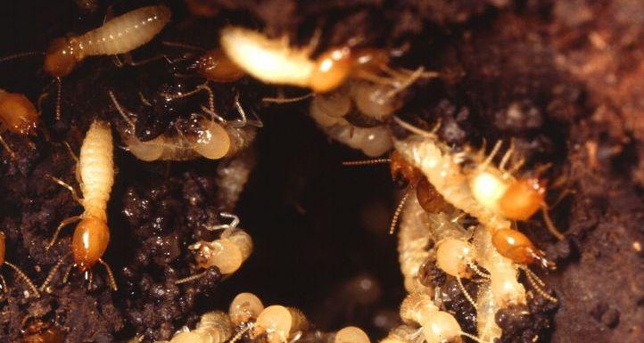 أفضل شركة مكافحة النمل الأبيض بجدة