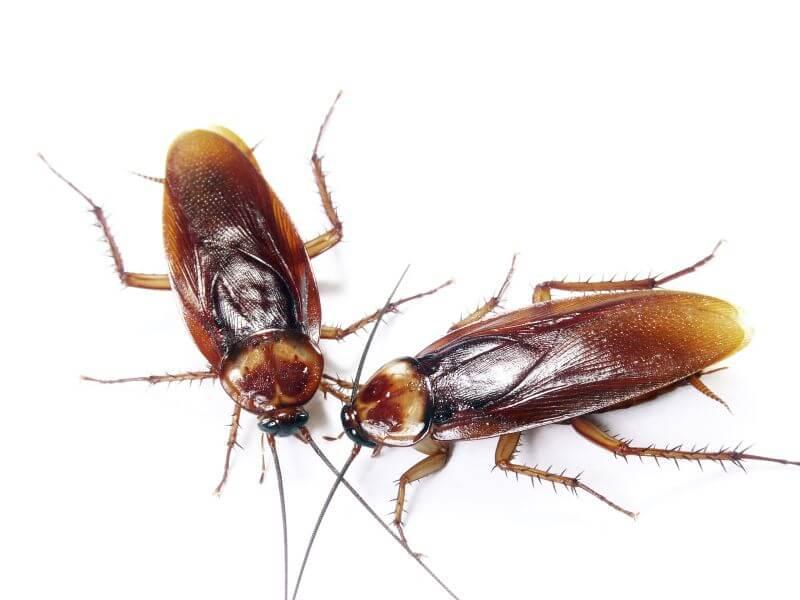 اضرار الصراصير على الانسان