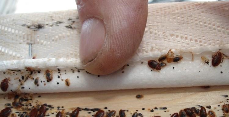 حشرة بق الفراش وخطورتها على الإنسان