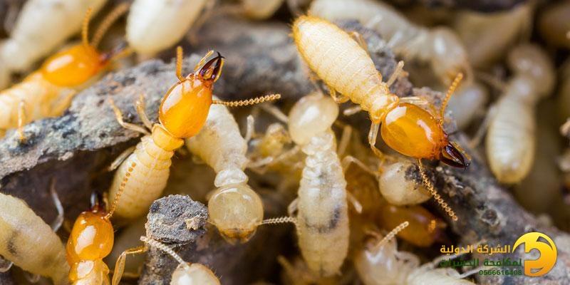 طرق القضاء على النمل الأبيض