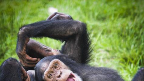Dos chimpancés juegan en un santuario de Florida / Save the Chimps