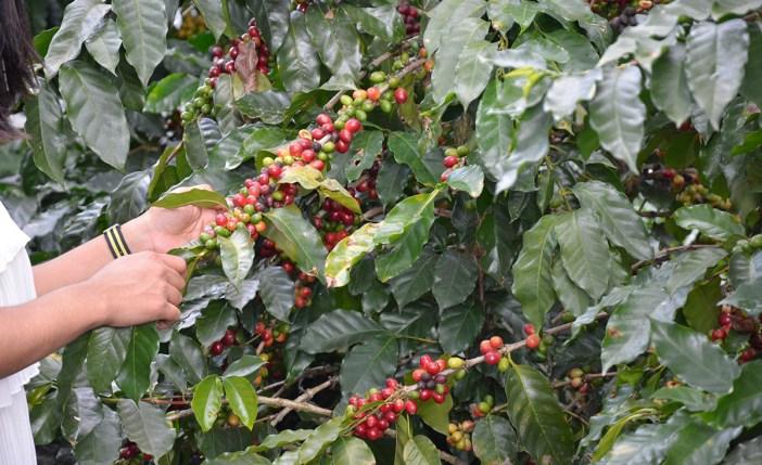 cafe dominicano cosecha