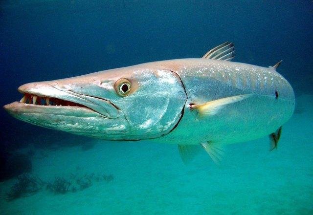 pez picua