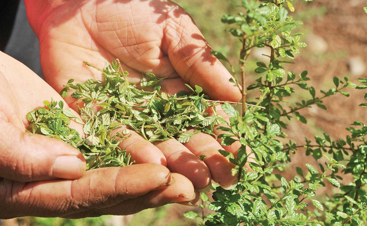productores oregano feda