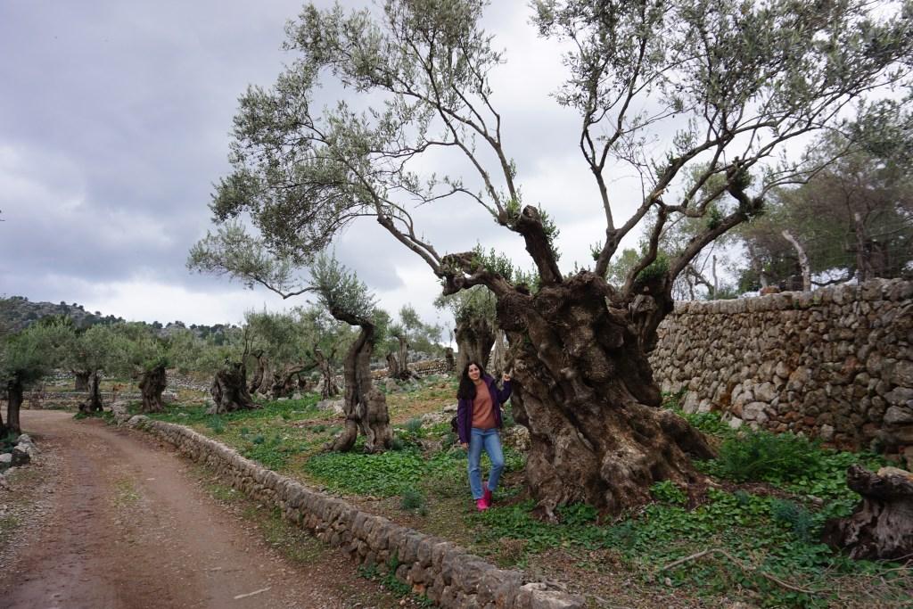 Olivo centenario junto al camino viejo de Balitx