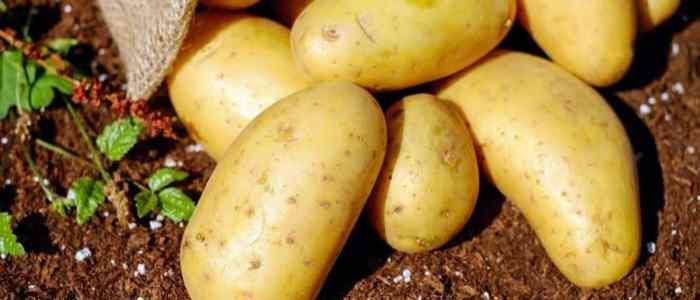 """البطاطس """"قد تختفي"""" من الأسواق"""