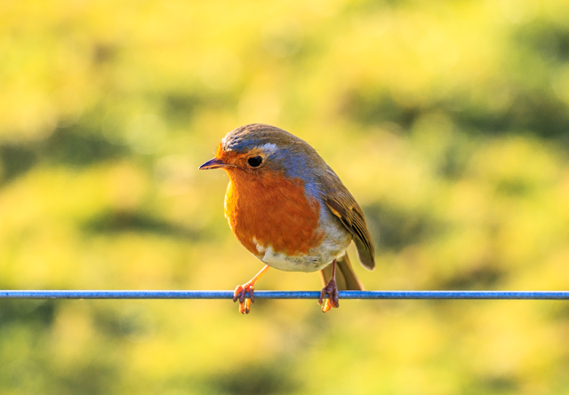 Robin on a wire