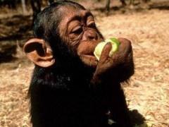 Mono comiendo manzana