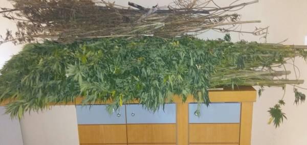Σύλληψη για 70 χασισόδεντρα στο Ριζοχώρι Τριφυλίας