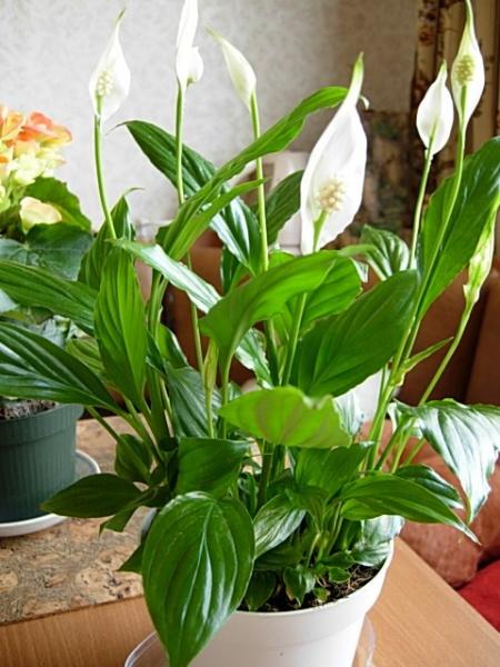 Комнатные растения для северных окон описание