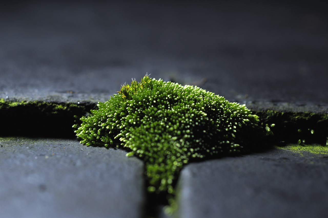 Moss on roof of Pleasanton, CA roofing client.