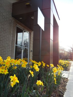Office Entrance Daffodils